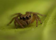 Salticidae - Hasarius adansoni (female)