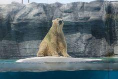 Inuka, the polar bear Singapore Zoo, Polar Bears, Phone Backgrounds, Animaux, Cell Phone Backgrounds, Phone Wallpapers, Polar Bear