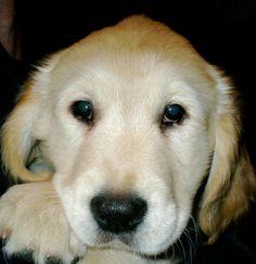 Isaiah Comfort Dog saying good morning! #k9comfortdogs #dogs