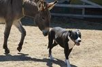 Oliver donkey with Justin Credible dog. Oliver has grown up with Justin and they are best friends.
