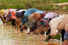 Agriculture 7,000 years ago slowed natural cooling process of global climateCambodian farmers planting rice. Image: Brad Collis (CC BY 2.0)