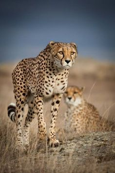 Mental Alchemy - beautiful-wildlife: Cheetah by Dirk Müller