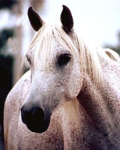 Flea Bitten Grey. Grey horses are determined by having black skin under white hair. The flea bitten part comes from all the thousands of teeny tiny flecks of color.