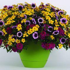 50 Trixi Combo Cajun Flare Live Plants Plugs Garden Patio Home DIY Planters S4 #TrixiCombo