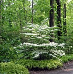 flowering dogwood with hakonechloa boarder, shade gardening