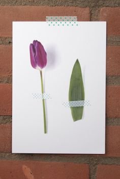 Photoprint purple Tulip  Print paarse Tulp  € 9,95
