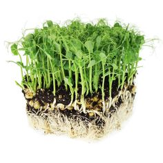 How fun is this microgreen? Tendril Pea Mircorgreens from NGB member True Leaf Market produces microgreens pea shoots with an abundance of curly tendrils (adorable). Tendril Pea is great in salads and can be eaten shortly after the first or second set of true leaves. #newplants #newfor2021 Container Gardening, Gardening Tips, Indoor Gardening, Vegetable Gardening, Soil Layers, Green Peas, Grow Your Own Food, Unique Recipes, Growing Vegetables