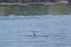 Must Do Travel Trip - Whale Watching on the Victoria Clipper from Seattle to the San Juan Islands