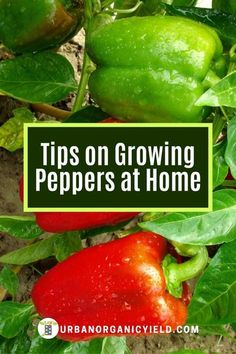How do you grow peppers in containers, pots or raised beds?  Learn more as we discuss what type of soil to use, where to plant the pepper plants and many more items.  #GrowingPeppers #VegetableGardening #Gardening #UrbanOrganicYield