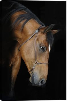 Trakehner Stallion In The Barn Animal Canvas Wall Art Print by Unknown