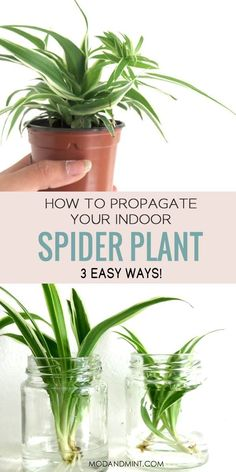 What to do when your Spider Plant is having babies? There are 3 easy ways to Propagate your Spider Plant Babies | Find out how at modandmint.com Veg Garden, Garden Plants, Indoor Plants, House Plants, Hanging Plants, Gardening For Beginners, Gardening Tips, Indoor Gardening, Spider Plant Propagation