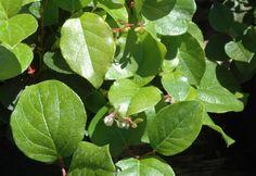 Native shrub: Gaultheria shallon,  Salal