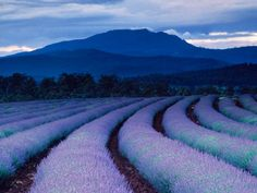 PURPLE RAIN Photograph by Gerd Ludwig Photographer's Description: Purple tints land and sky as night falls over lavender fields at Tasmania's famed Bridestowe Estate. The plantation is one of the largest lavender farms in the world. Lavender Blue, Lavender Fields, Lavander, Lavender Plants, National Geographic, Purple Rain, Purple Yellow, Deep Purple, Color Of Life