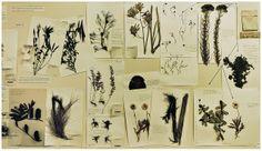 Plant Montage - Australian National Herbarium