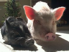 Doc, our micro mini pig, and Piper, our teacup pig, sunning themselves.
