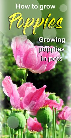 Poppies are beautiful, attractive and vibrant border flower plants of your garden which can give a great performance. This plant has different importance in the world according to culture and religion. Growing Poppies, Planting Poppies, Growing Flowers, Poppy Flower Garden, Peonies Garden, Poppy Flowers, Flowers Garden, Purple Flowers, Best Perennials