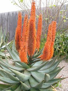 Aloe ferox large gray leaves, salmon-colored spikes fast drainage full sun bit of afternoon shade water maybe month need room.some aloes may grow enormous Flowering Succulents, Growing Succulents, Cacti And Succulents, Cactus Plants, Planting Flowers, Weird Plants, Unusual Plants, Rare Plants, Strange Flowers