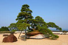 The world's biggest bonsai