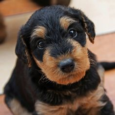 The sturdy Airedale is the largest of all terriers. Males stand about 23 inches at the shoulder; females are a bit smaller. The wire coat is tan with dark markings. Rangy but muscular legs give Airedales a regal lift in their bearing, and the long head—with its sporty beard and mustache, expressive eyes, and neatly folded ears—conveys a keen intelligence. Airedales are the picture of an alert and willing terrier—and then some.