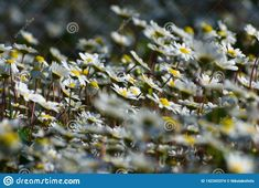 Photo about Close up photograph of a chamomile field on a sunny day. Image of closeup, cloud, floral - 142343374