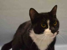 ORCHID IS A 2 YR OLD, FRIENDLY, PURRING SPAYED GIRL WHO HAS SOME DENTAL ISSUES THAT WILL NEED FOLLOW UP CARE AFTER ADOPTION! OWNER DUMPED FOR MOVING!