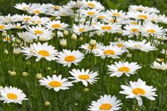 fields of daisy / makes me think of Tam