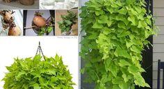 Come ottenere una pianta da una patata dolce | Passionando