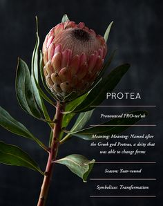 Flower Glossary: The Protea, A South African Legend Flor Protea, Protea Flower, Exotic Flowers, Beautiful Flowers, Flower Meanings, Flower Names, Language Of Flowers, Arte Floral, Planting Flowers