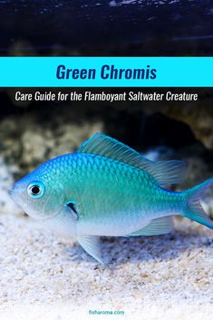 Green Chromis Care Guide - A member of the Pomacentridae family, Green Chromis are pretty easy to maintain and have a peaceful temperament. In addition, they are also scavengers and help keep the tank clean. Saltwater Aquarium Fish, Saltwater Tank, Reef Aquarium, Saltwater Fishing, Reptile Enclosure, Reptile Cage, Fishing For Beginners, Beautiful Sea Creatures, Fish Care