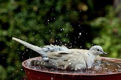 Tökéletes madáritató és -fürdő a kétarasznyi szélességű virágalátét, amiben a balkáni gerle méretűnél nagyobb madár is kényelmesen fürödni tud (Fotó: Orbán Zoltán).