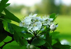 Crataegus species / Meidoorn / Hawthorn