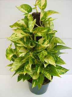 A & G Nurseries, Plant Products Golden Pothos