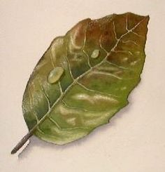 Tutorial: http://www.artgraphica.net/free-art-lessons/watercolor/how-to-paint-leaves.html