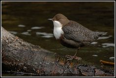My favourite bird, the lovely Dipper