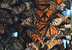 Monarch's Mexico Migration Minimizes - The number of Monarch butterflies spending their winters in Mexico dropped 28 percent, according to a new report.