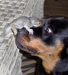 Hypnosis...Look into my eyes..you love little squirrels and will never chase them.