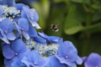 Picture of bee hovering above flowers