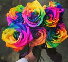 25 rare holland rainbow rose flower seeds exotic plants for Where can i buy rainbow roses