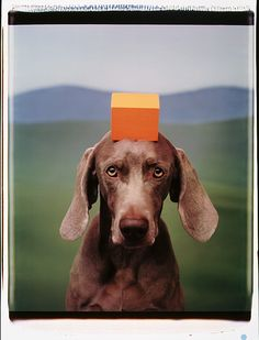 William Wegman, Orange Block, 1994