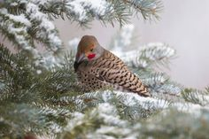 Northern Flicker resting on a branch in Rocky Mountain National Park, Colorado. Photo Credit: National Park Service.