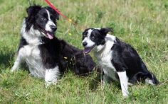 "Not a new story. ""A blind border collie has found a new lease of life thanks to his mate – who acts as his guide dog"""