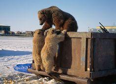 Una femmina di grizzly e i suoi due piccoli rovistano in un cassonetto di Prudhoe Bay in cerca di cibo. Quello dei rifiuti è un tema delicatissimo nella zona: gli animali si abituano a nutrirsi degli avanzi dell'uomo.