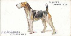 Dog Artwork, Fox Terrier, Book Of Shadows, Dogs, Animals, Animales, Dog Illustration, Animaux, Pet Dogs
