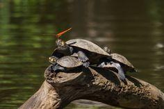Butterflies drink turtle tears for their salt fix.