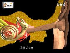 ▶ Ear Anatomy | Inside the ear | 3D Human Ear animation video | Biology | Elearnin - YouTube