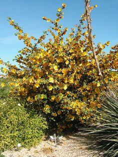 Fremontodendron cultivar at Pépinière Filippi in France (by mapa-73, via Flickr)