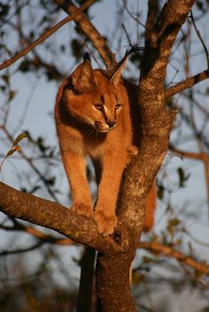 Caracal in a tree