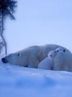 In the north light sleep a small polar Baer family!