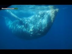 """Get up close and personal with a playful gray whale as it swims the """"backstroke"""" with a pod of bottlenose dolphin."""