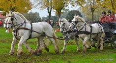 Boulonnais French Draft Horse.  Boulonnais Français  Cheval de Trait by Alexander Den Ouden, via Flickr